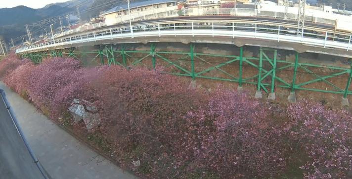 河津桜駅前
